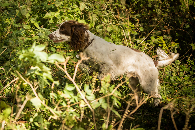 Cotswold Gundog Hunting Skills Training Day 7D-185