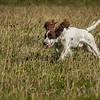 Cotswold Gundog Hunting Skills Training Day 7D-65