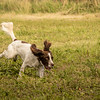 Cotswold Gundog Hunting Skills Training Day 7D-243