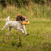 Cotswold Gundog Hunting Skills Training Day 7D-266