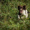 Cotswold Gundog Hunting Skills Training Day 7D-170