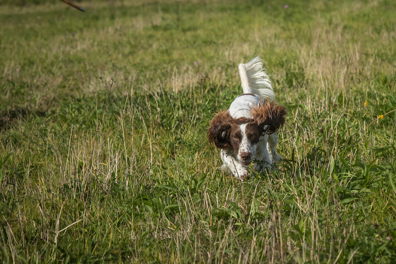 Cotswold Gundog Hunting Skills Training Day 7D-77