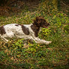 Cotswold Gundog Hunting Skills Training Day 7D-175