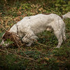 Cotswold Gundog Hunting Skills Training Day 7D-196
