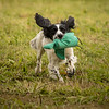 Cotswold Gundog Hunting Skills Training Day 7D-255