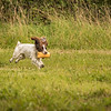 Cotswold Gundog Hunting Skills Training Day 7D-265