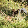Cotswold Gundog Hunting Skills Training Day 7D-209