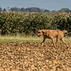 Cotswold Gundog Hunting Skills Training Day 7D-113