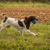 Cotswold Gundog Hunting Skills Training Day 7D-268