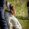 Cotswold Gundog Hunting Skills Training Day 7D-97