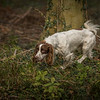 Cotswold Gundog Hunting Skills Training Day 7D-195