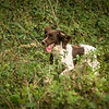 Cotswold Gundog Hunting Skills Training Day 7D-173