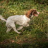 Cotswold Gundog Hunting Skills Training Day 7D-190
