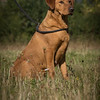 Cotswold Gundog Hunting Skills Training Day 7D-16