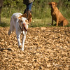 Cotswold Gundog Hunting Skills Training Day 7D-131