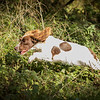Cotswold Gundog Hunting Skills Training Day 7D-210