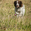 Cotswold Gundog Hunting Skills Training Day 7D-67
