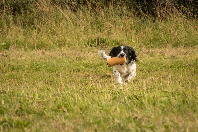 Cotswold Gundog Hunting Skills Training Day 7D-234