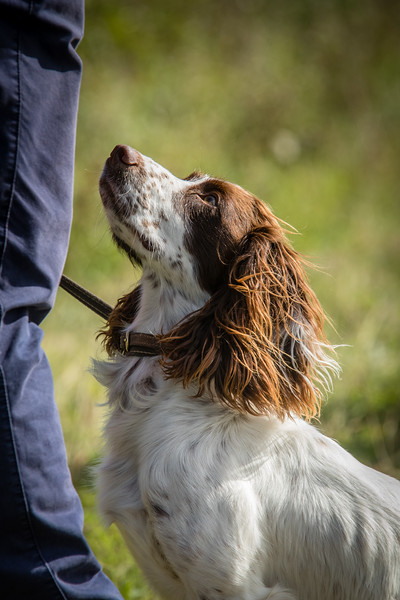 Cotswold Gundog Hunting Skills Training Day 7D-95
