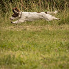 Cotswold Gundog Hunting Skills Training Day 7D-258