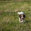 Cotswold Gundog Hunting Skills Training Day 7D-78