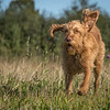 Cotswold Gundog Hunting Skills Training Day 7D-40