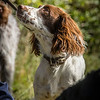 Cotswold Gundog Hunting Skills Training Day 7D-98