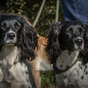 Cotswold Gundog Hunting Skills Training Day 7D-13