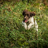 Cotswold Gundog Hunting Skills Training Day 7D-169
