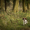 Cotswold Gundog Hunting Skills Training Day 7D-204