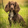 Cotswold Gundog Intro To Shooting Day 7D -20