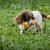 Cotswold Gundogs Shoot Skills Training Day 7d-211