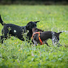 Cotswold Gundogs Shoot Skills Training Day 7d-68