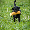 Cotswold Gundogs Shoot Skills Training Day 7d-249