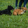 Cotswold Gundogs Shoot Skills Training Day 7d-94