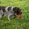 Cotswold Gundogs Shoot Skills Training Day 7d-153