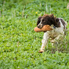 Cotswold Gundogs Shoot Skills Training Day 7d-240