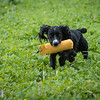 Cotswold Gundogs Shoot Skills Training Day 7d-216
