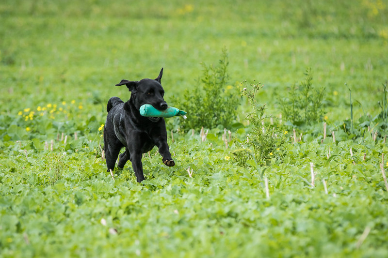Cotswold Gundogs Shoot Skills Training Day 7d-237