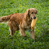 Cotswold Gundogs Shoot Skills Training Day 7d-209
