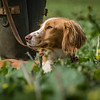 Cotswold Gundogs Shoot Skills Training Day 7d-204