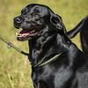Cotswold Gundogs Shoot Skills Training Day 7d-5