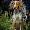 Cotswold Gundogs Shoot Skills Training Day 7d-23