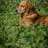 Cotswold Gundogs Shoot Skills Training Day 7d-195