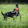 Cotswold Gundogs Shoot Skills Training Day 7d-69