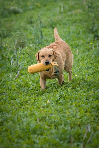 Cotswold Gundogs Shoot Skills Training Day 7d-219