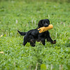 Cotswold Gundogs Shoot Skills Training Day 7d-242
