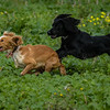 Cotswold Gundogs Shoot Skills Training Day 7d-92