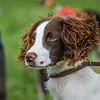 Cotswold Gundogs Shoot Skills Training Day 7d-87
