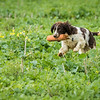 Cotswold Gundogs Shoot Skills Training Day 7d-239